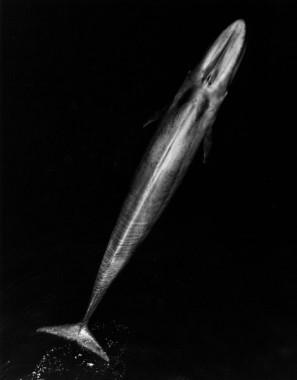 Ballena azul adulta