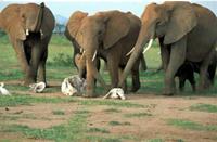 Elefantes con restos de familiares