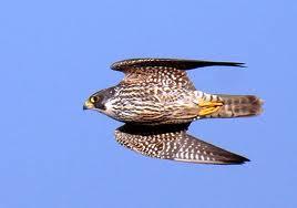 El halcón peregrino es el animal superior en velocidad al resto de seres vivos